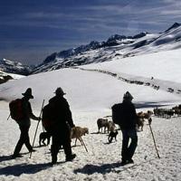 Włochy / Południowy Tyrol - owce na lodowcu