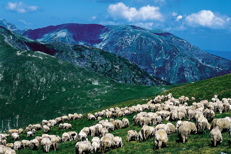 owce-w-Rumunii