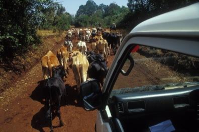 Krowy-na-trakcie_Kenia_242p