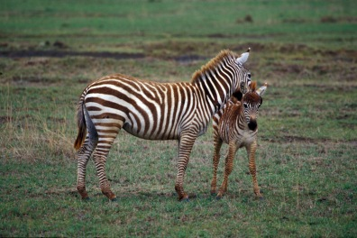 Oieszczoty-zebr_Kenia_022p