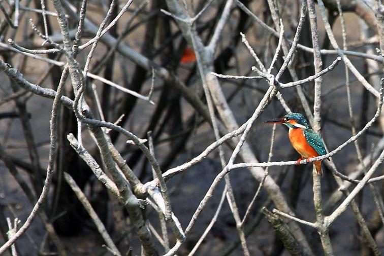 Zimorodek wśród mangrowców, fot. Paweł Wroński