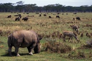 Rhinos-Horns_002p