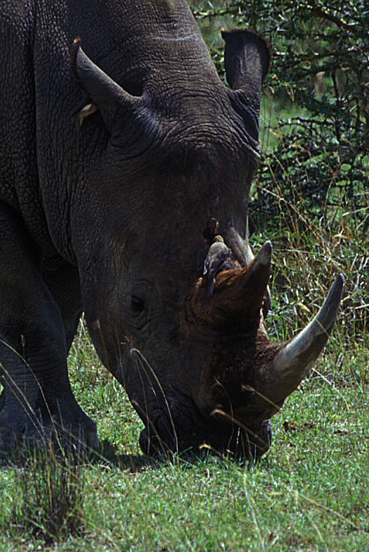 Rhinos-Horns_004p-fragment