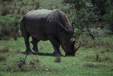 Rhinos-Horns_004p