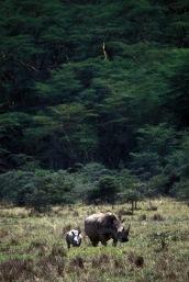 Rhinos-Horns_005p