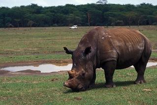 Rhinos-Horns_007p