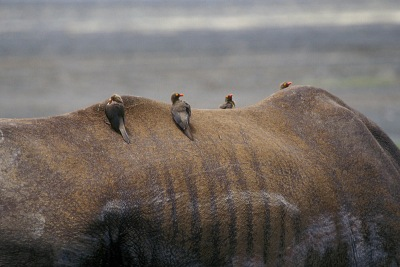 Rhinos-Horns_289p