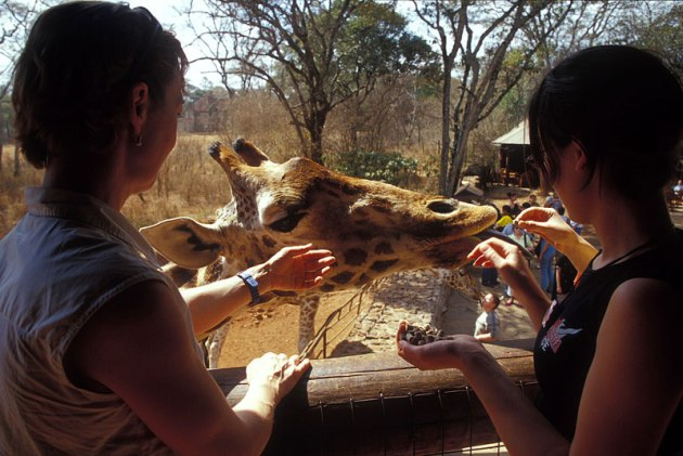 Giraffe_041p