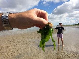 Jadalne glony - gdyby nie piasek skrzypiący między zębami - są całkiem smaczne a podobno także zdrowe, fot. Paweł Wroński