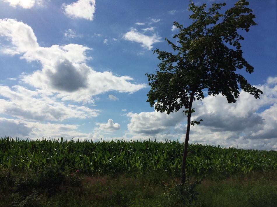 Kukurydza na Weyerbergu, fot. Paweł Wroński