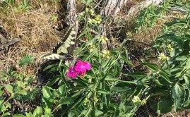 Wapienne podłoze sprawia, że w Górach Swiętokrzyskich bujnie kwitną rosliny i uwijają się wśród nich liczne owady, w tym przepiękne motyle, fot. Paweł Wroński