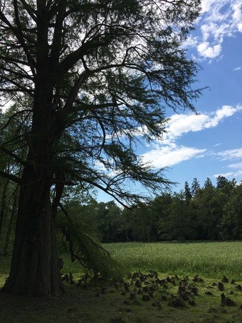 Jedno z najciekawszych egzotycznych drzew w kórnickim parku - cypriśnik blotny (Taxodium distichum), sprowadzony z Ameryki Południowej, fot. Paweł Wroński