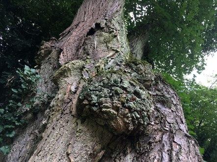 Rosła lipa z kórnickiego Arboretum, fot. Paweł Wroński