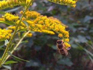 Zapylacze - zbieranie pyłku na miodorodnej nawłoci, fot. Paweł Wroński
