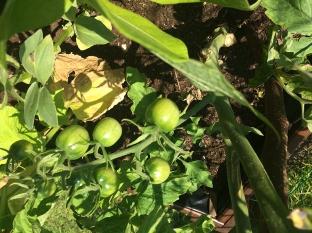 Dojrzewają pomidorki koktajlowe, fot. Paweł Wroński