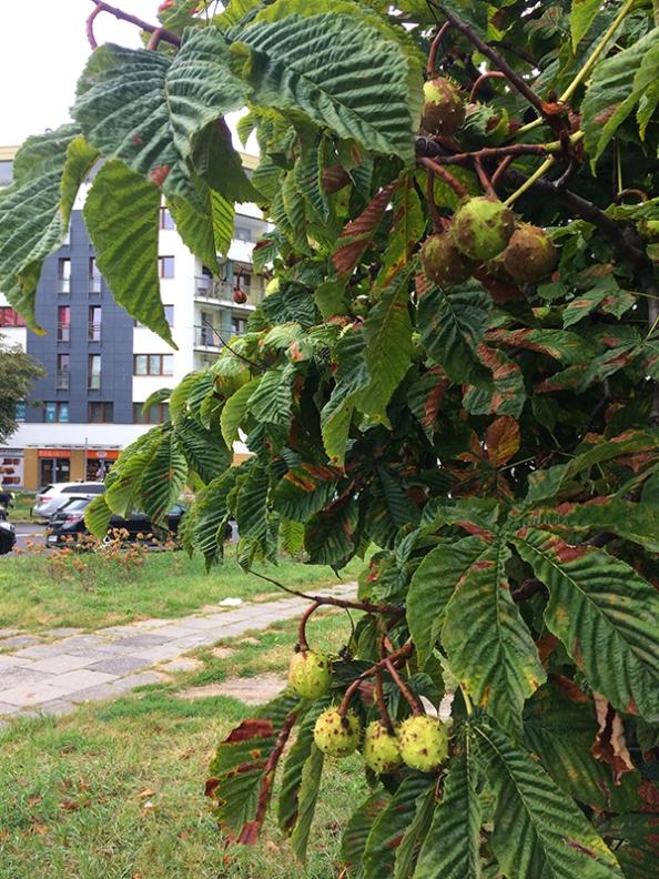 Czekoladowa plamistość na liściach kasztanowców przy Ostrobramskiej, fot. Paweł Wroński