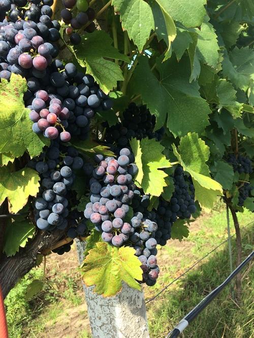 Sadzonki winorośli pochodzą ze słynnej winnicy Golesz, należącej do Romana Myśliwca i usytuowanej koło Jasła, fot. Paweł Wroński