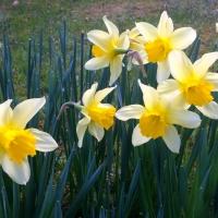 Kwiecień miesiącem żonkili